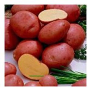 Potato Desiree 5723dfa4c552e L1.jpg